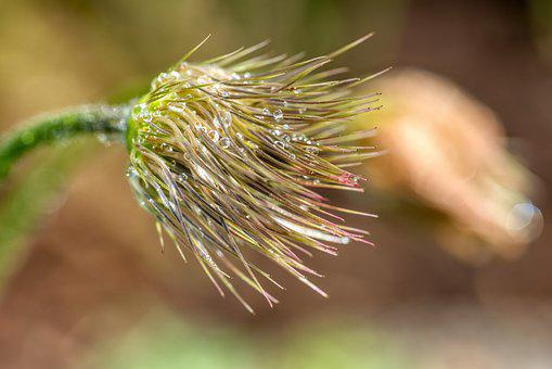 Faded, Pasqueflower, Droplets, Wet, Sparkle, Macro