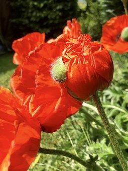 Poppy Flower, Poppies, Poppy Capsules, Bud