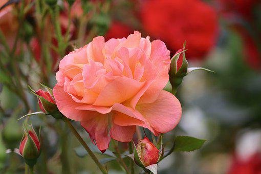 Rose, Salmon, Bud, Tender, Rose Bloom, Orange Rose