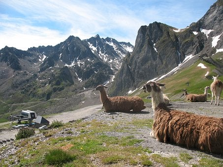 Llama, Sheep Camel, Animal, Ungulate, Mammal