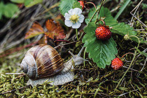 Snail, Shell, Crawl, Mollusk, Nature, Strawberries
