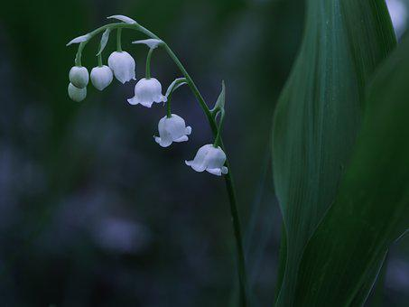 Lily Of The Valley, Convallaria, Majalis, May, Spring