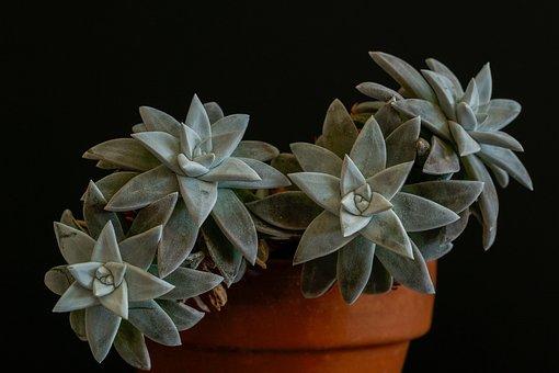Dudleja, Sukulent, Green, Grey, Silver