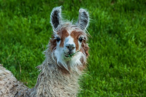 Farm, Alpaca, Animal, Livestock, Wool, Mammal, Cute