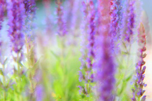 Sage, Salvia, Blossom, Bloom, Bloom, Close Up