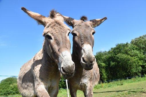 Donkeys, Donkeys Of Contentin