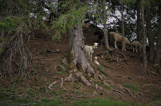 Dreary, Black Forest, Goat, Sheep, Grazing