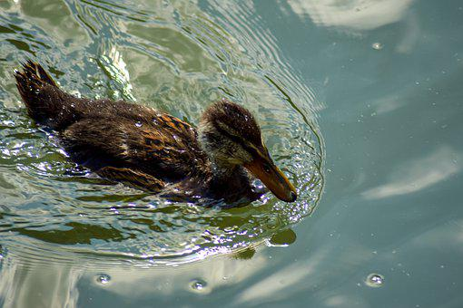 Duck, Water, Pond, Animal, Swimming Pond, Nature