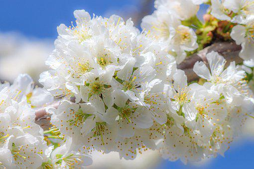 Cherry Blossom, Flower, White, Green