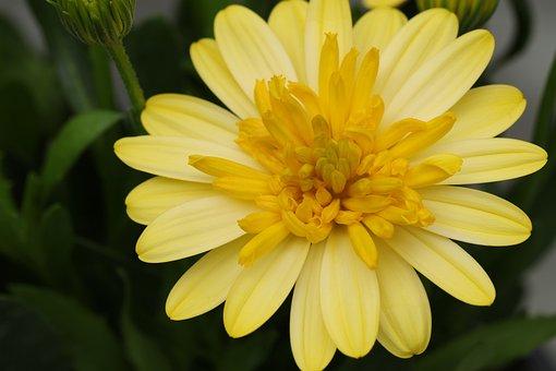 Spanish Margriet, Osteospermum, Flower, Flowers, Yellow