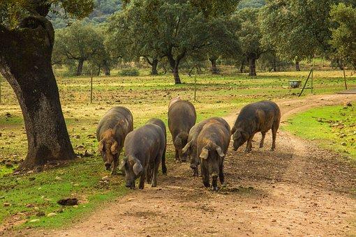 Ham, Pigs, Pork, Hams, Dehesa