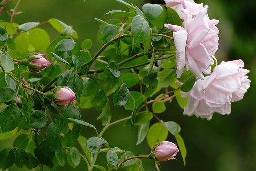 Rose Bush, Light, Pink, Soft, White