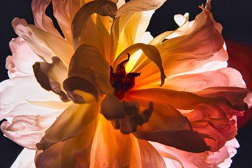 Peony, Illuminated, Pink, Flowers, Bloom, Petals