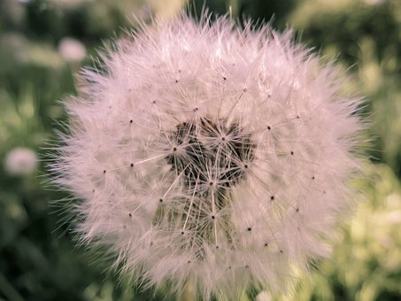 Dandelion, Spring, Nature, Plant, Pointed Flower