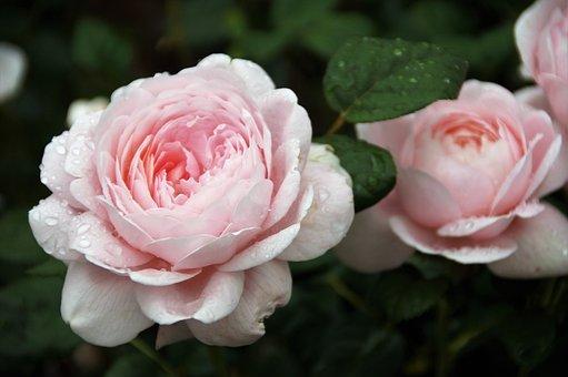 Rose, Flower, Soft, Pink, Pastel, Lights