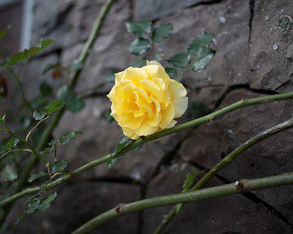 Rosa, Yellow, Flower, Marriage, Nature, Flowers, Love