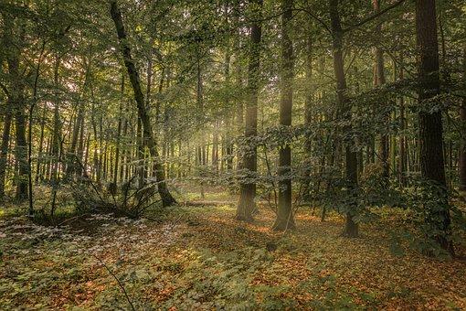 Forest, Trees, Light Beam, Nature, Landscape, Autumn