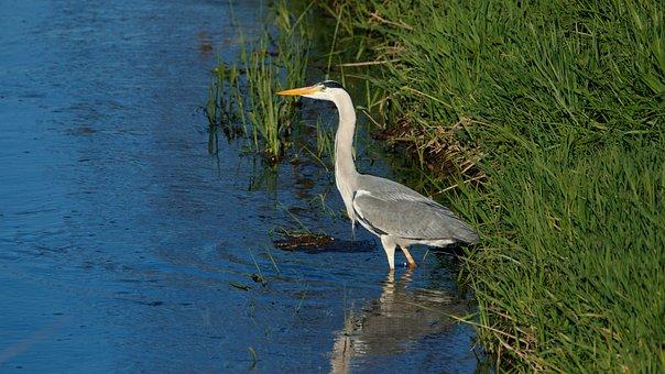 Grey Heron, Bach, Animal World, Nature, Water, Bank