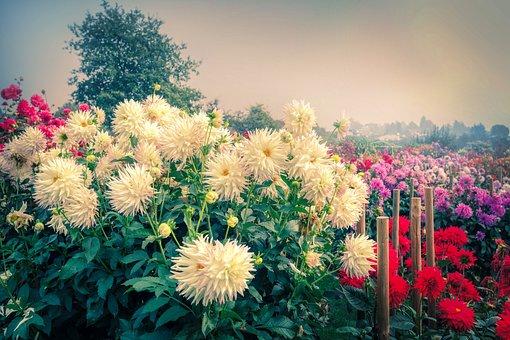 Autumn, Dahlias, Garden, Blossom, Bloom, Flora, Plant