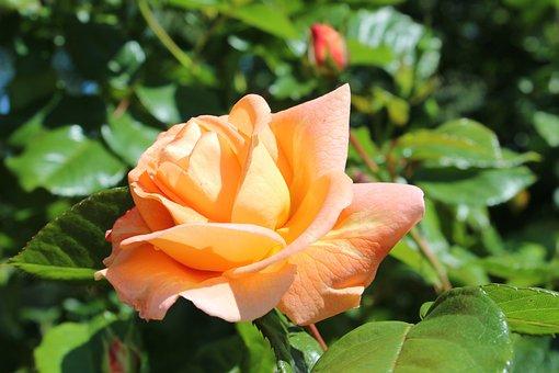 Rose, Blossom, Bloom, Yellow, Beautiful