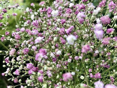 Panicles-gypsophila, Gypsophila, Caryophyllaceae