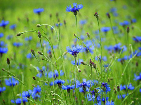 Cornflowers, Blue, Flowers, Field, Agriculture, Cereals