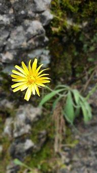 Flower, Yellow, Rock, Plant, Green, Mountains, Detail