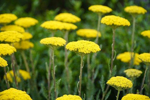 Achilea, Yellow, Yarrow, Flowers