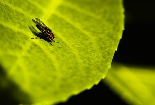 Fly, Housefly, Insect, Nature, Nectar, Pollen, Spring
