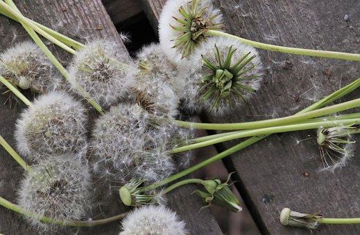 Close Up, Dandelion, Gray, Seeds, Allergy, Fluff