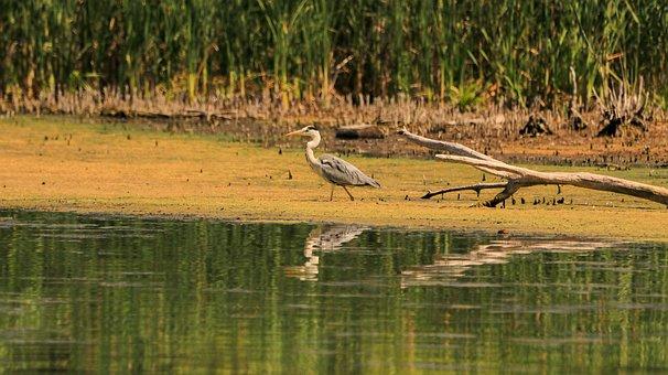 Bank, Grey Heron, Summer, Water Bird, Hunter, Wetland