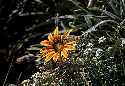 Gazania, Flower, Yellow, Orange, Petals, Bright