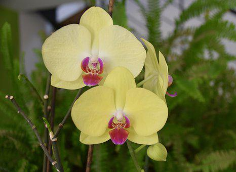 Flower, Orchid Blossom, Orchid Yellow Color