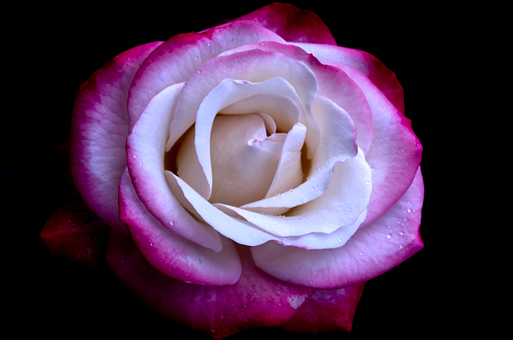 Flower, Rose, Petals, Blossom, Bloom, Flowering Plant