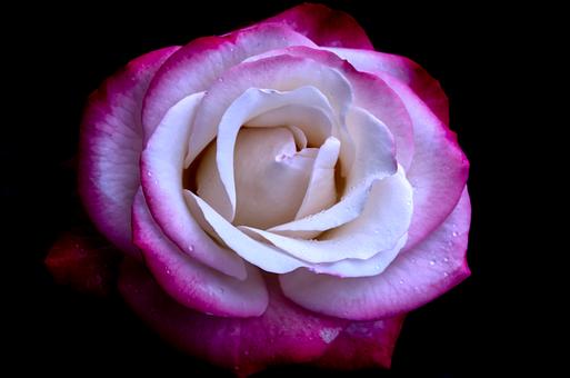 Pink, Nostalgia, Vintage, Background, Thank You, Rose