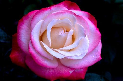 Pink, Purple, Nostalgia, Romance, Flower