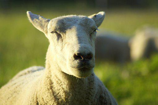 Sheep, Wind, Spring, Fresh Breeze