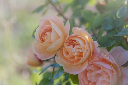 Roses, Bloom, Blossom, Bloom, Apricot, Romantic, Beauty