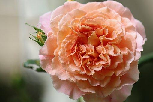 Rose, Floribunda, Salmon, Blossom, Bloom, Rose Bloom