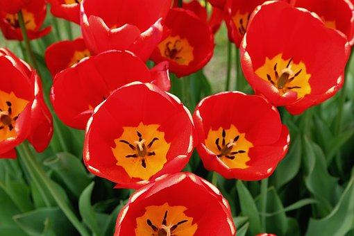 Tulip, Red, Bright, Nature, Wildlife, Beautiful