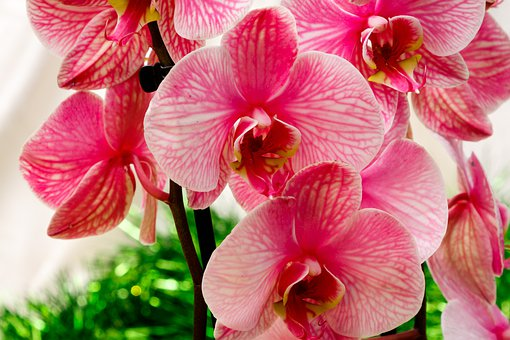 Orchid, Flower, Pink, Petals, Nature