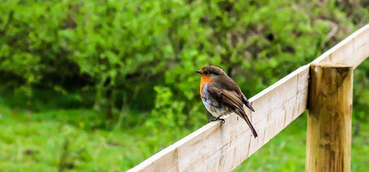 Robin, Background, Bird, Nature, Animal