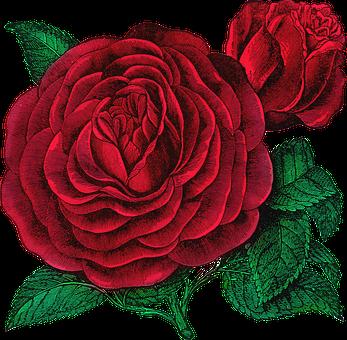Vintage, Rose, Rose Bloom, Floribunda, Red, Isolated