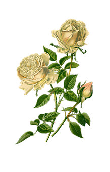 Vintage, Roses, White, Scrapbooking, Bourbon-rose