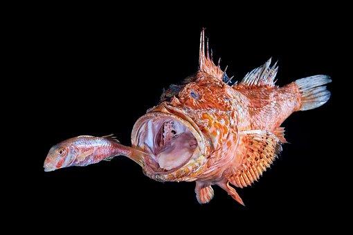 Fish, Scorfoano, Mullet, Sea, Predator, Red, Eats