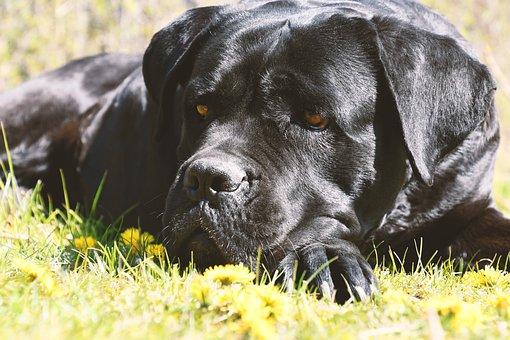 Cane Corso, Dog, Portrait, Spring