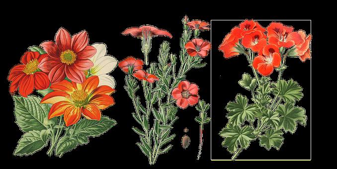 Vintage, Flowers, Dahlia, Cut Out, Transparent