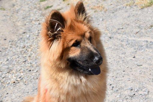 Dog, Bitch, Eurasier Female, Animal