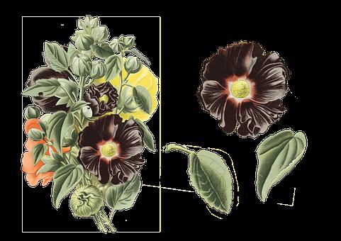 Vintage, Flowers, Alcea Rosea, Black, Hollyhock