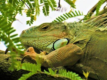 Iguana, Lizard, Reptile, Animal, Tree, Head, Green